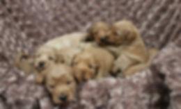Gaga puppies 4 weeks.jpg