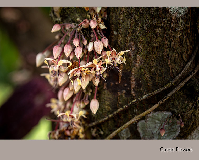 Cacao Flowers.jpg