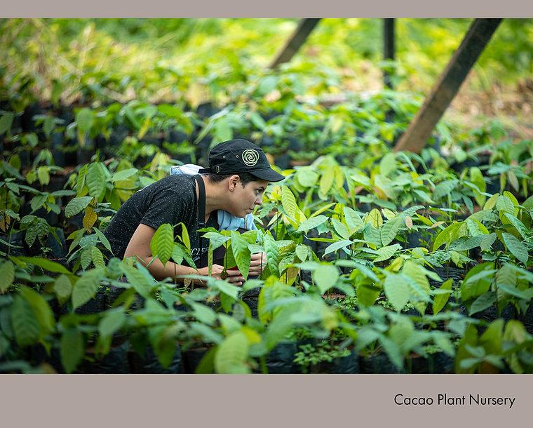 Cacao Plant nursery.jpg