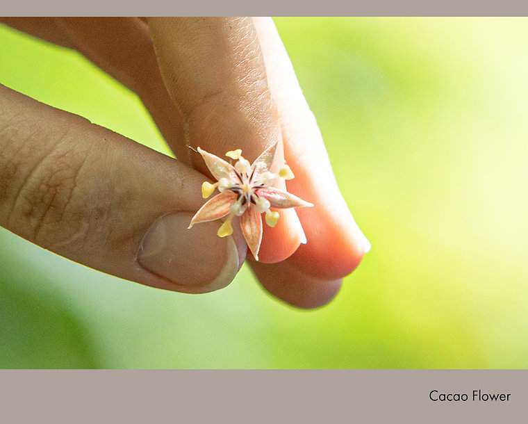 Cacao Flower.jpg