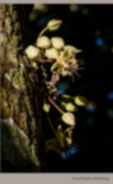 Cacao Flowers in the morning.jpg