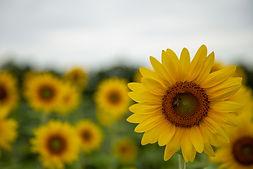 Sunflowers-Evie-7.jpeg
