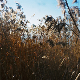 golden reed