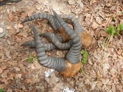 Poached hartebeest horns