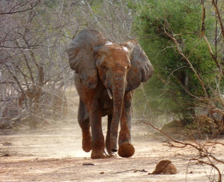 Elephant running