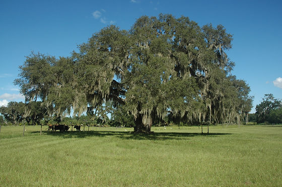 Big Oak Tree at Dancing Cows Ranch