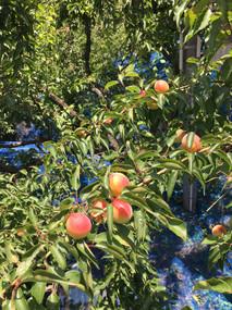 紅が差した紀州南高完熟梅