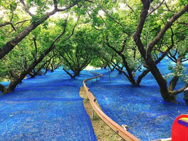 ブルーのネットを敷き詰めた梅畑