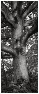 Tree :: Ilford HP5 Test