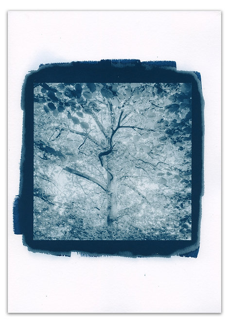 Canopy Cyanotype