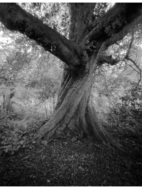 Twisted Chestnut pinhole