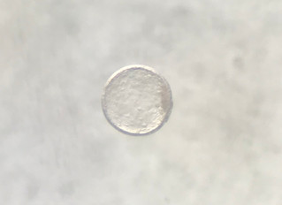 Successful embryo flush from Gaudi x Izabella!