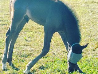Buying a Dressage Foal--Part 5 Evaluating Conformation