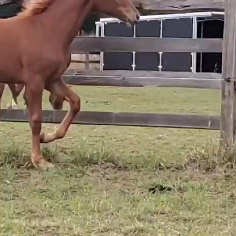 Buying a Dressage Foal--Part 6 Evaluating Movement