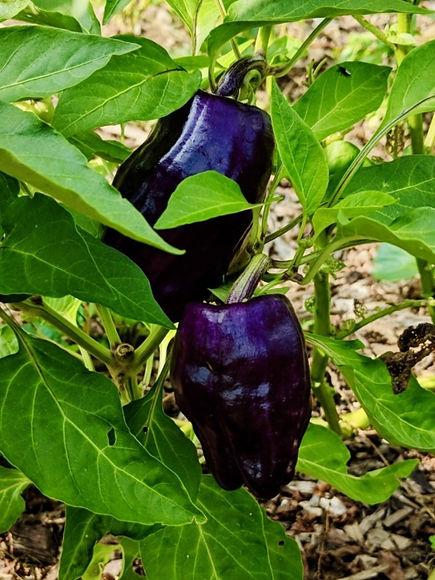 Peppers%201_edited.jpg