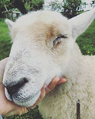 Sheep being stroked