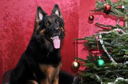 Tex får altid charmeret sig ind _3 min lille julehund  _3 og han har været med rundt med ansøgninger