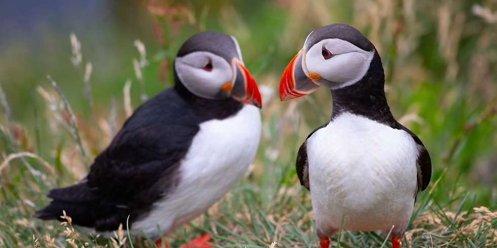 SOLD OUT Puffins and Bluebells of Skomer Island and the coast of Pembrokshire - Bank Holiday (1)