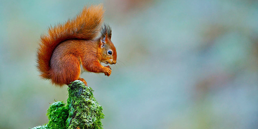 Red Squirrel Paradise Island -  A relaxing day out in nature - NO HIKE