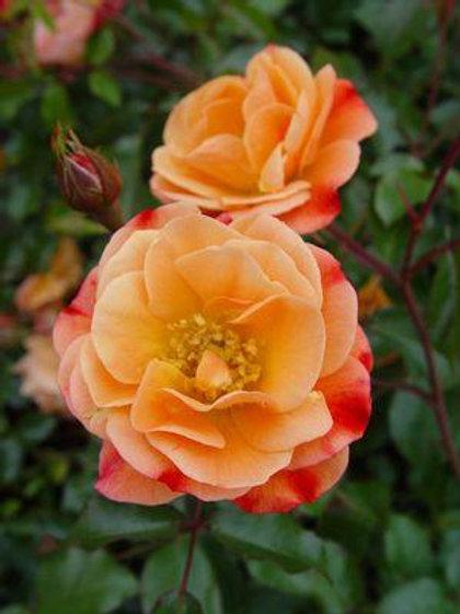 AMBER ROSE (TYPE)