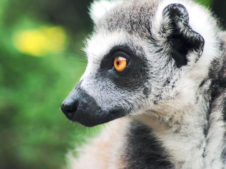 Lenny the Lemur turns 20