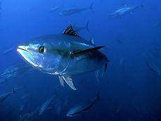 Blue-Fin-Tuna1.jpeg