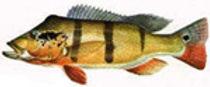 peacock_bass.jpeg