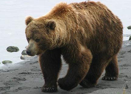 brow-bear.jpeg