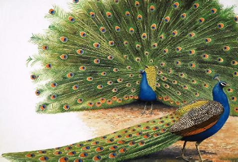 peacocks.png