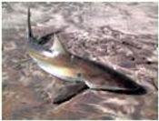 Namibia_shark_fish2.jpeg