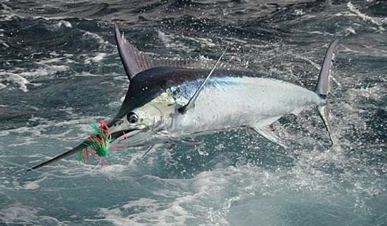 Marlin.jpeg