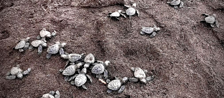 Olive Ridley Sea Turtle Arribada in Ostional, Costa Rica with Kids