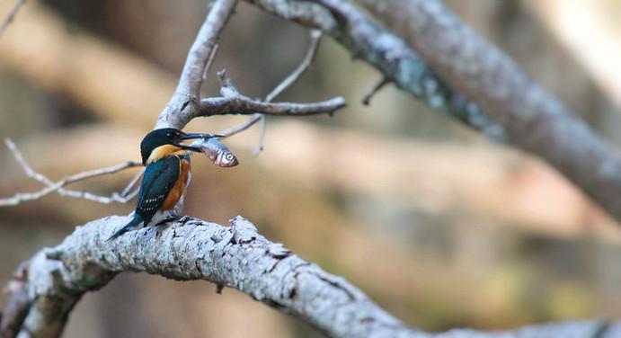 Birdwatching in Calakmul
