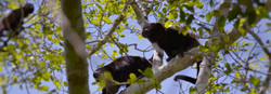 Howler monkeys at Calakmul