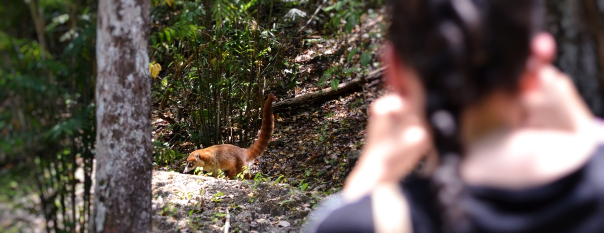 Coatimundi at Calakmul