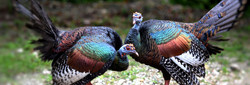 Ocellated turkeys at Calakmul