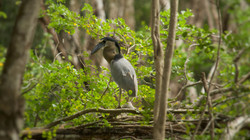 Boat billed heron at Calakmul
