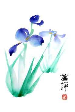 Ayame - iris