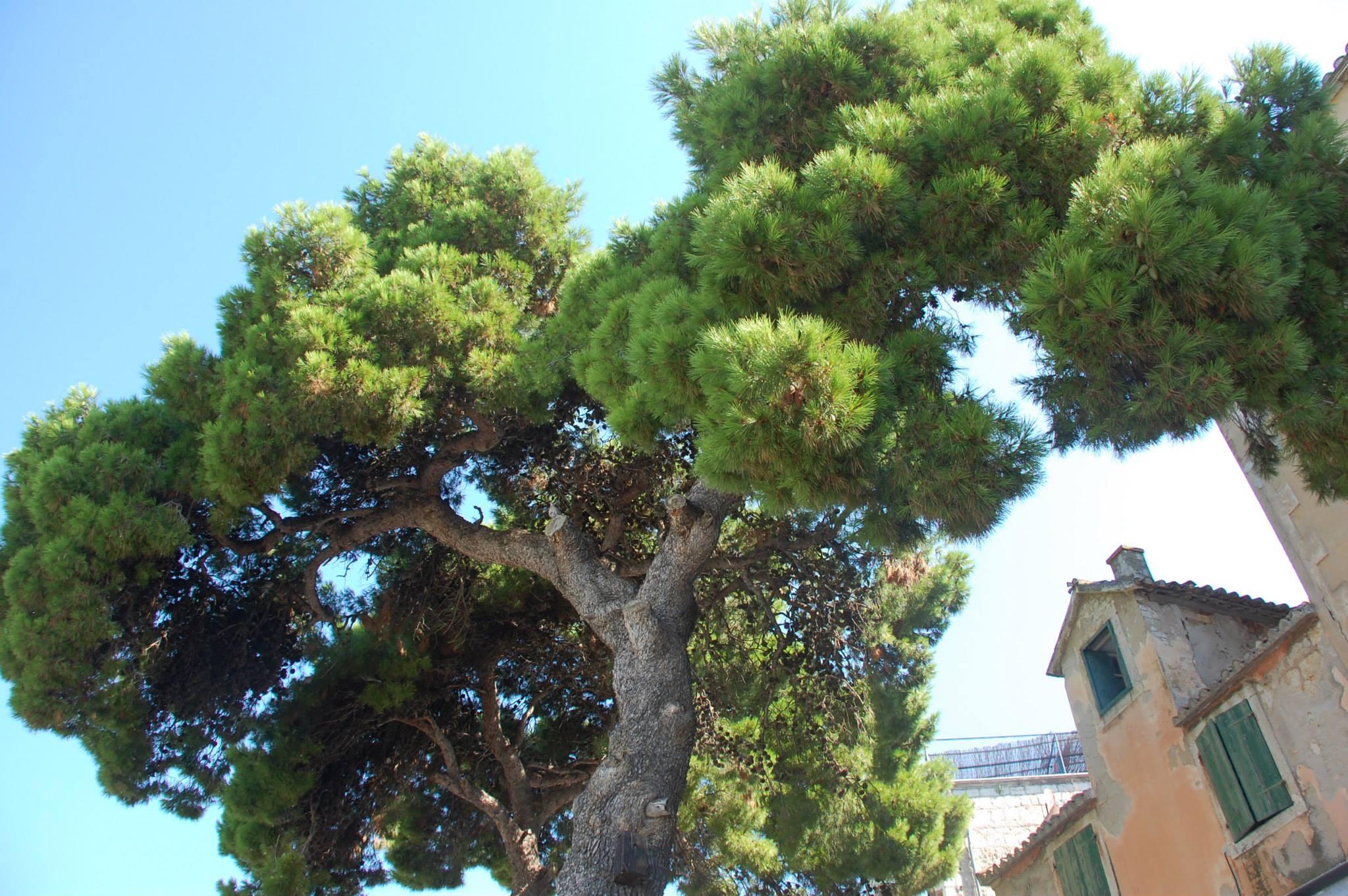 Croatian Specialty : Damalt Pines