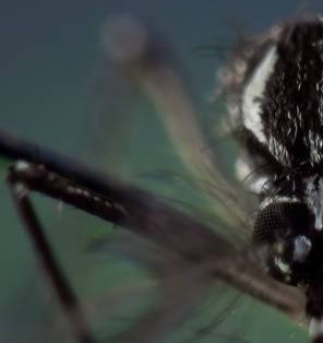v2a4| O mosquito-oráculo e outras tecnologias: novas inteligências epidêmicas e antropologia*