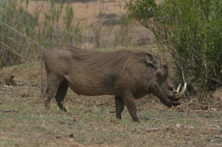 A warthog trying to avoid us