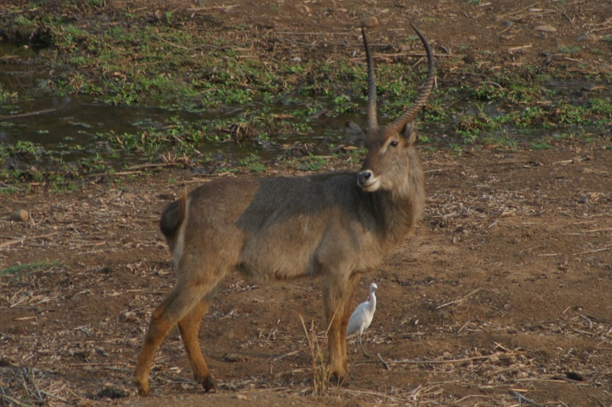 A male waterbuck