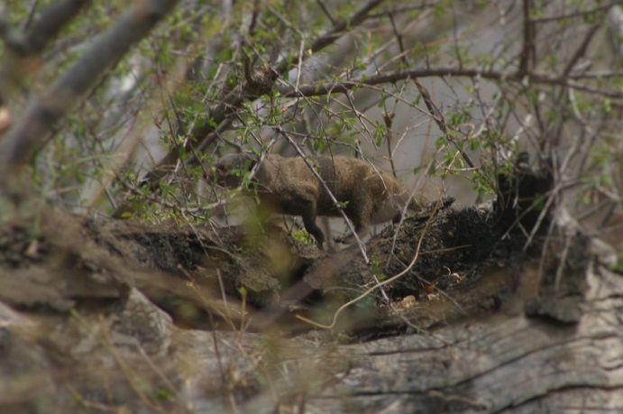 A mongoose playing hide and seek