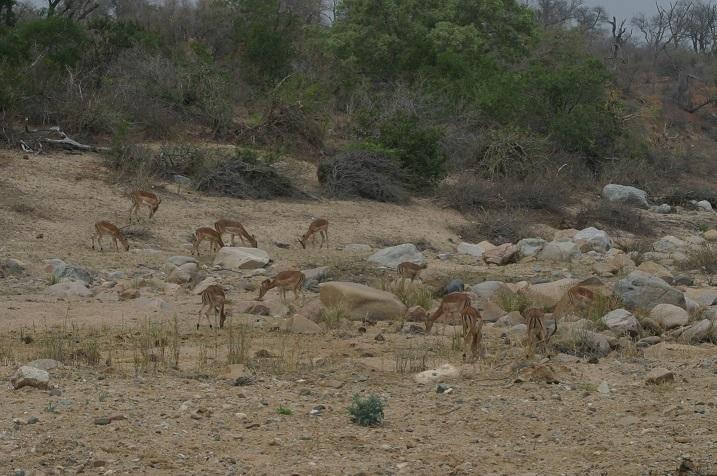 Scores of impalas