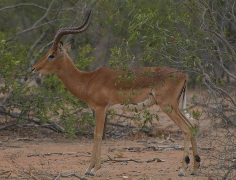 A male impala