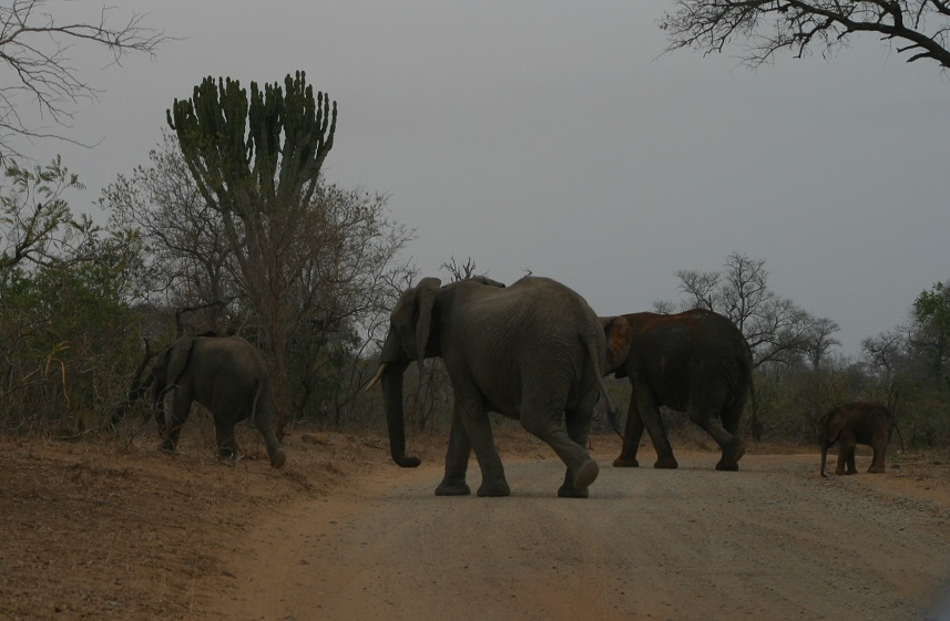 An elephant herd crossing in front of us