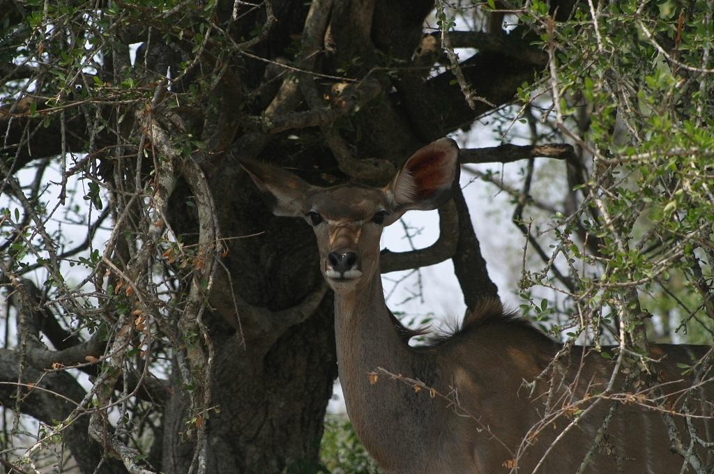 A female kudu posing for us