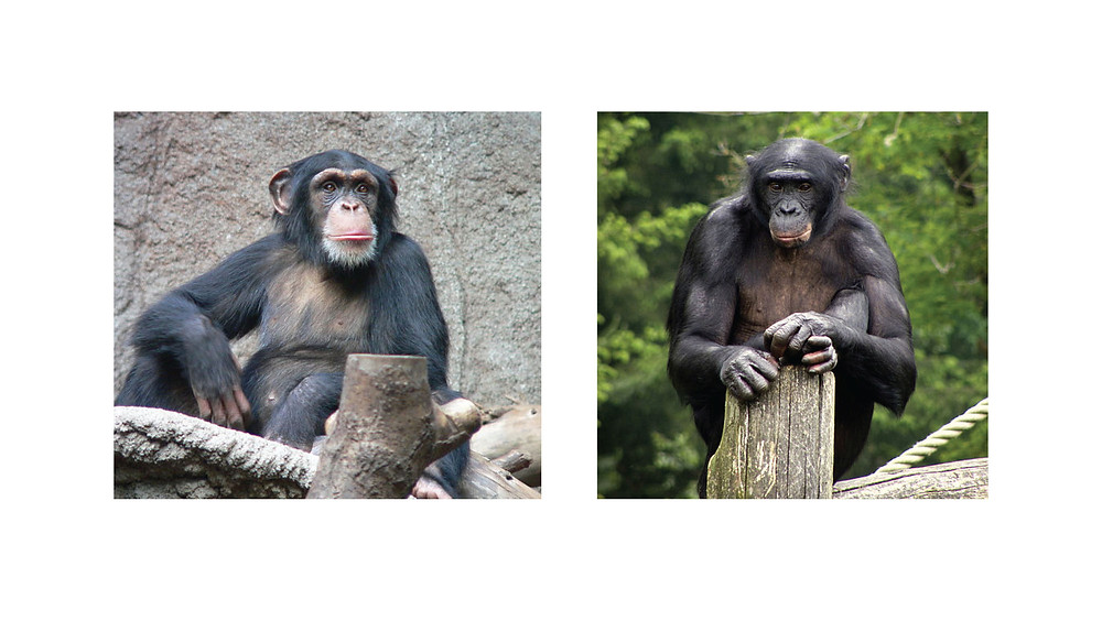Chimpanzee (left) Bonobo (right)