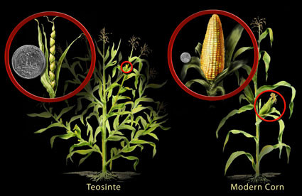 Teosinte compared with modern maize.