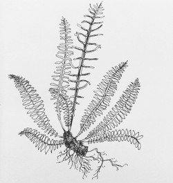 Dessin_plantes